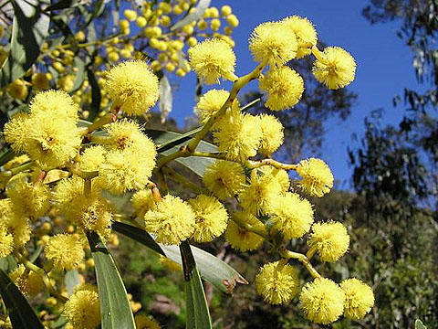 Golden Wattle Acacia Pycnantha(ゴールデンワットル)